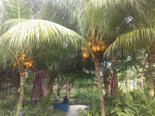 These are coconut trees. Never thought the fruit are yellow. Кокосовые деревья. Не знал, что плоды желтые.